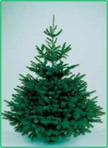 picture of premium nordmann fir real christmas tree non drop - Most Realistic Christmas Trees