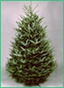 Picture of Premium Fraser Fir - Real Christmas Tree (non drop)