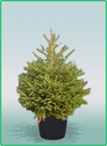 Northern Christmas Trees Pot Grown Norway Spruce
