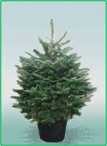 Northern Christmas Trees Pot Grown Fraser Fir Christmas